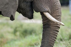 Elephant nose with tusks. Closeup Elephant nose with tusks with very sharp details Royalty Free Stock Photography