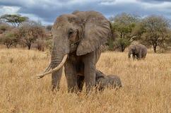 Elephant Nursing Stock Images