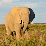 Elephant from Nxai Pan,Botswana Royalty Free Stock Image