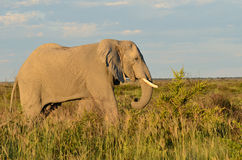 Elephant in Nxai pan,Botswana Stock Image