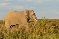 Elephant in Nxai pan,Botswana Stock Image