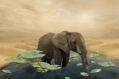 Elephant in an oasis Stock Image