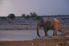 Elephant at Okaukuejo waterhole. Etosha national p Stock Photos