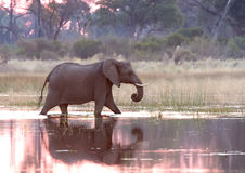 Elephant in Okavango Delta Royalty Free Stock Photos