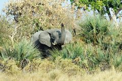 Elephant in the Okavango delta, Botswana Royalty Free Stock Photos