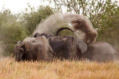 Elephant - Okavango Delta - Moremi N.P. Stock Image