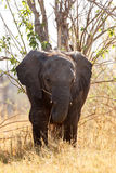Elephant - Okavango Delta - Moremi N.P. Royalty Free Stock Photos