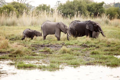 Elephant - Okavango Delta - Moremi N.P. Royalty Free Stock Photography
