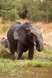 Elephant - Okavango Delta - Moremi N.P. Royalty Free Stock Images