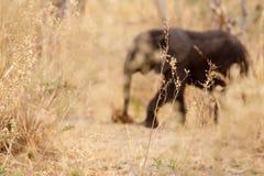 Elephant - Okavango Delta - Moremi N.P. Stock Images