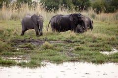 Elephant - Okavango Delta - Moremi N.P. Stock Photo