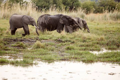 Elephant - Okavango Delta - Moremi N.P. Royalty Free Stock Photo
