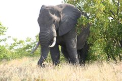 Elephant old and wise in natural habitat. In Africa`s wild park you will meet many of the grey giants. The bull are huge. In the nature reserves the ivory tusks royalty free stock photo
