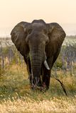 Elephant in Hlane National Park, Swaziland stock photos