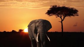 Elephant,  Orange Sky , Tree And African Sunrise. Elephant close-up is on the savannah at dawn stock video