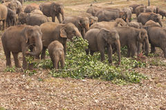Elephant Orphanage Royalty Free Stock Photo