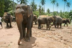 Elephant Orphanage. Pinnewala, Sri Lanka Royalty Free Stock Image