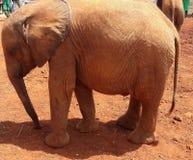 Elephant. Orphanage nairobi Royalty Free Stock Photography
