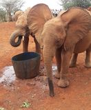 Elephant. Orphanage nairobi Stock Photos