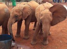 Elephant. Orphanage nairobi Royalty Free Stock Images