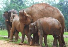 Elephant Orphanage, Sri Lanka Royalty Free Stock Image