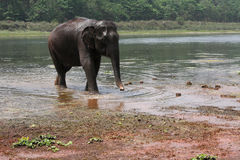 Elephant out of the river Stock Photography