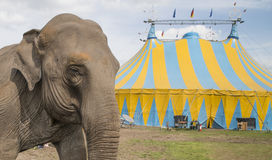 Elephant outside circus Stock Images