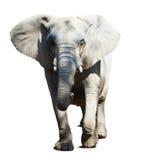 Elephant over white background Royalty Free Stock Photo