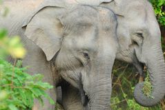 Elephant pair in Sri Lanka's Yala National Park Stock Photography