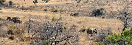 Elephant Panorama. Stock Photography