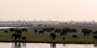 Elephant Panorama Royalty Free Stock Photos