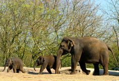 Elephant parade. Elephant mother and cubs Stock Image