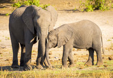 Elephant Parent With Calf Stock Images