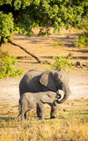 Elephant Parent With Calf Royalty Free Stock Image