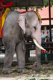 Elephant. A part of Asia Elephant in Thailand Stock Photos