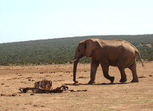 Elephant passing by a carcass Stock Photography
