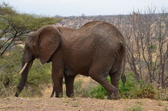 An elephant passing by. Royalty Free Stock Photo
