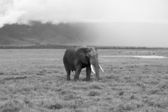 Elephant in front of a high slope in black and white. Elephant passing with the high slope of the ngorongoro crater in the back and the sun illuminating the royalty free stock image