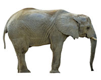 Elephant With Paths. A regular elephant isolated with clipping paths embedded stock photo