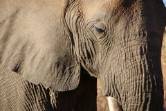 Elephant. Peaceful elephant with character Pilanesberg nature reserve South Africa Royalty Free Stock Image
