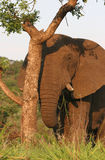 Elephant peeking behind tree Royalty Free Stock Image