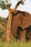 Elephant peeking behind tree Royalty Free Stock Image