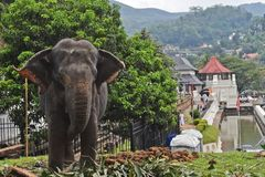 An Elephant at Sri Dalada Maligawa Kandy, Sri Lanka. An elephant in perahera season 2017 at Sri Dalada Maligawa, Kandy, Sri Lanka Stock Photo