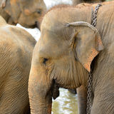 Elephant photo closeup Stock Image