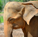 Elephant photo closeup Royalty Free Stock Image