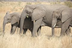 Elephants at Ruaha national park ,Tanzania east Africa. stock image
