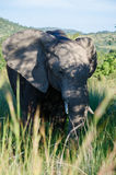 Elephant. Photo taken in Pilanesberg National Park, South Africa stock photos