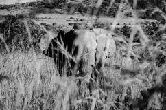 Elephant. Photo taken in Pilanesberg National Park, South Africa stock image