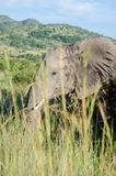 Elephant. Photo taken in Pilanesberg National Park, South Africa stock photo