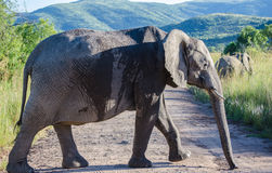 Elephant. Photo taken in Pilanesberg National Park, South Africa royalty free stock photo